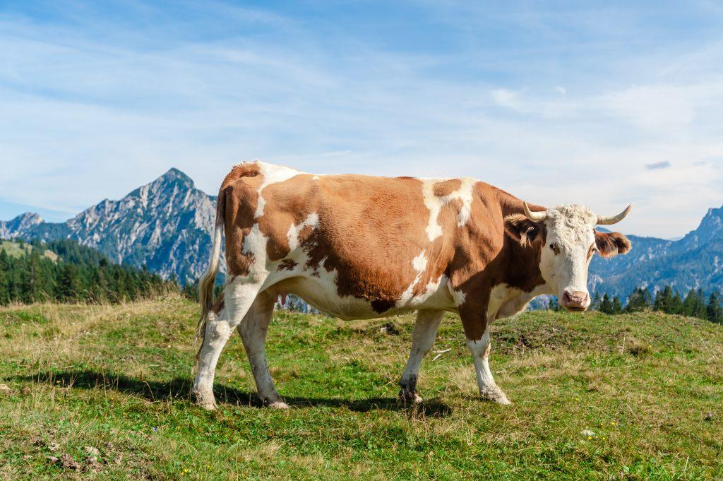 Simmental Baviera